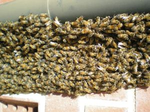 A bee swarm loking to move in